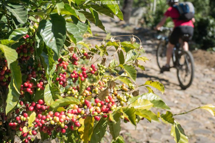 Riding in the colorful coffee fincas. Las Tapias Sacatepéquez, Guatemala